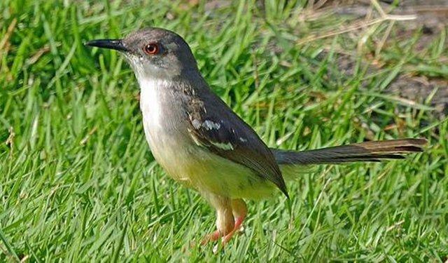 burung perenjak jawa