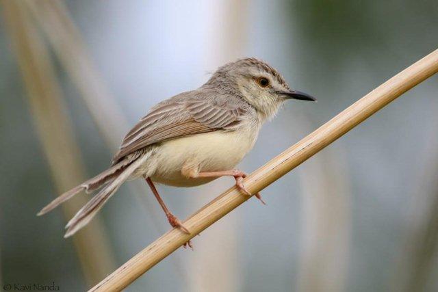 burung perenjak padi
