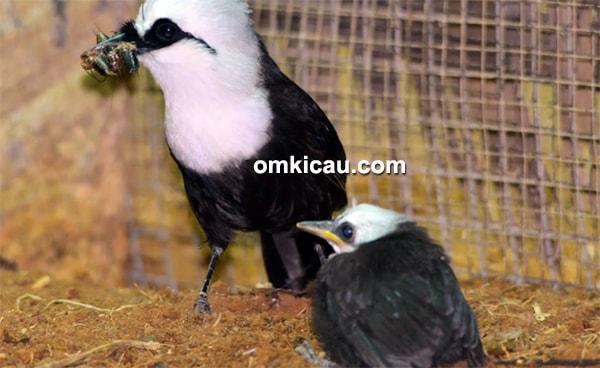 ternak burung poksay sumatera