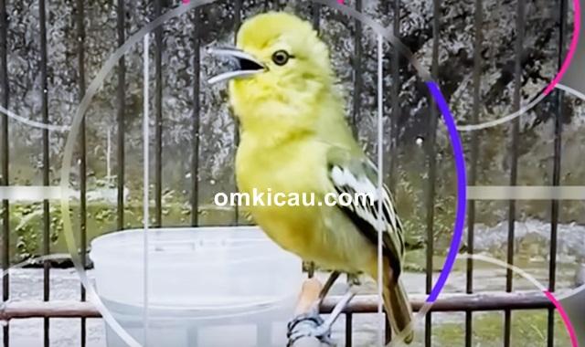 suara siulan burung cipoh kacat