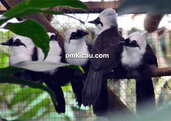 Anakan burung poksay sumatera