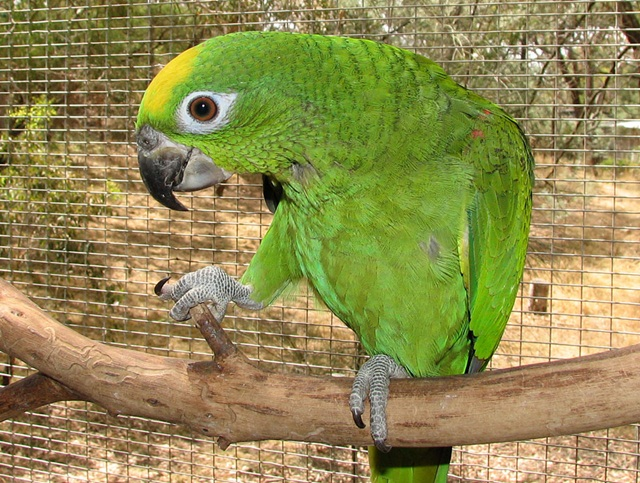 burung parrot-Yellow-crowned amazon