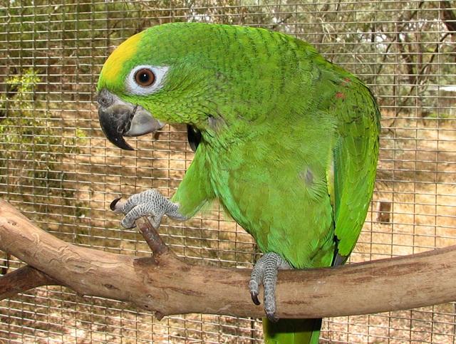 burung parrot-Yellow-crowned amazon