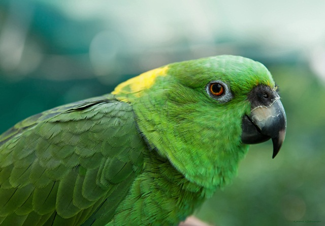 burung parrot-Yellow-naped amazon