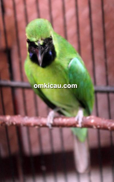 Cucak hijau Kolor Ijo