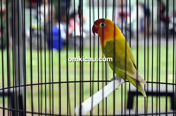 Lovebird 234
