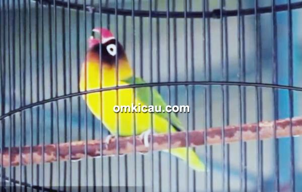 Lovebird Biang Kerok