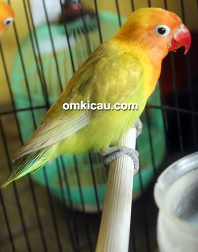 Lovebird Bontot