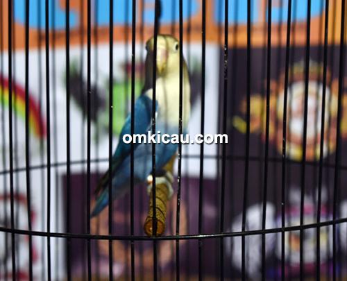 Lovebird Culixs