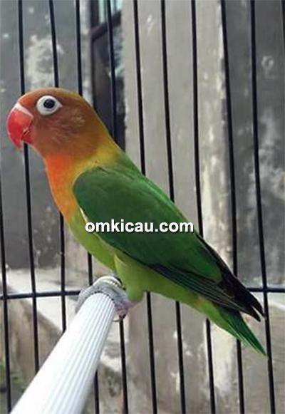 Lovebird Dewi Tan