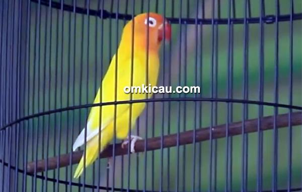 Lovebird Gali Gongli