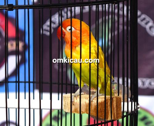 Lovebird Josech