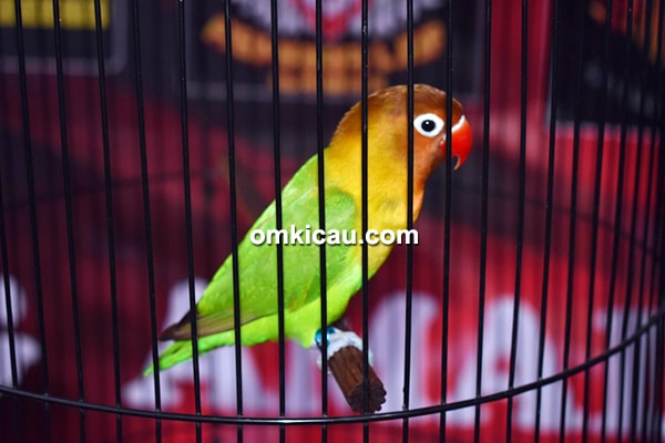 Lovebird Kraton