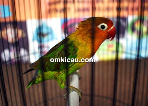 Lovebird Momo Jr