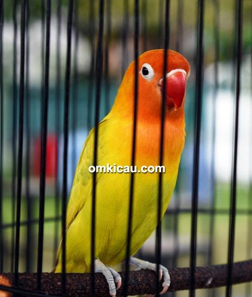 Lovebird Sakera