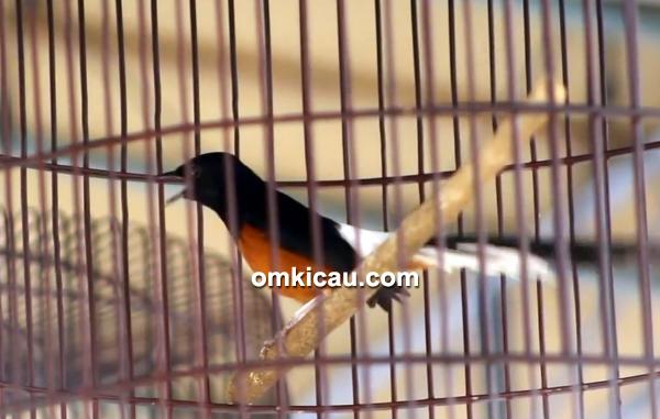 cara merawat burung murai batu