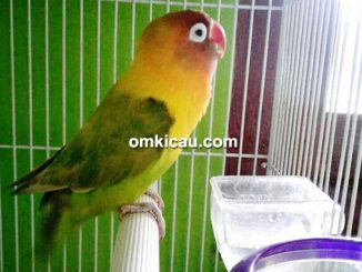 lovebird Mimut
