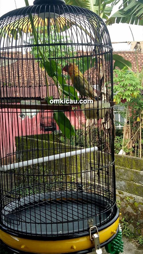perawatan lovebird jawara