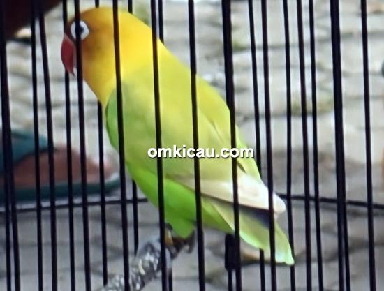 Lovebird Persebaya