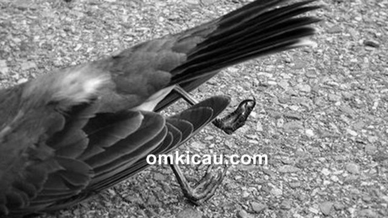 Beberapa Penyebab Burung Mati Mendadak Dan Cara Mencegahnya Om Kicau