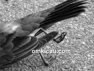 Kematian mendadak bisa terjadi pada semua jenis burung piaraan