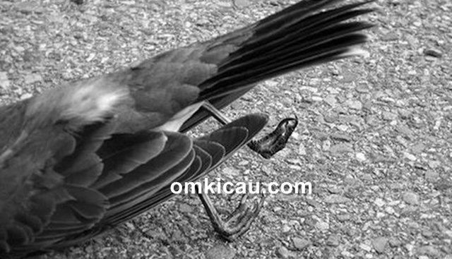 penyebab burung mati mendadak
