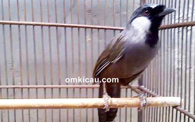 Cara merawat burung poksay hongkong bakalan