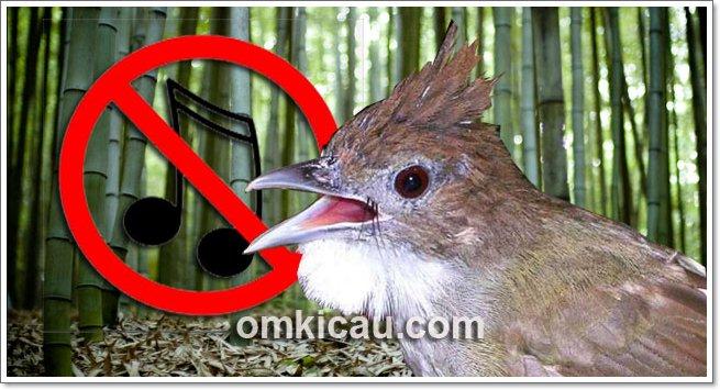 Mengatasi burung cucak jenggot mogok bunyi