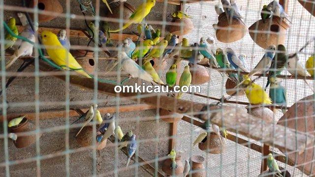 Cara Meredam Perilaku Agresif Burung Parkit Di Kandang Koloni Om Kicau