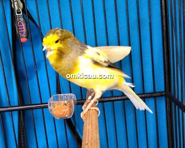 Crowne Canary