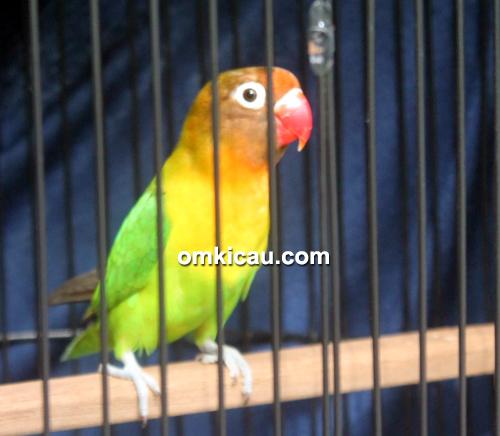 Lovebird Bob Marley