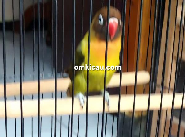 lovebird Bobochan