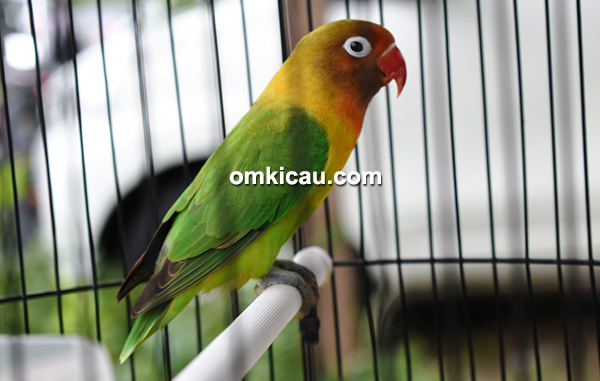 Lovebird Charlitos