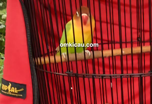Lovebird Nona