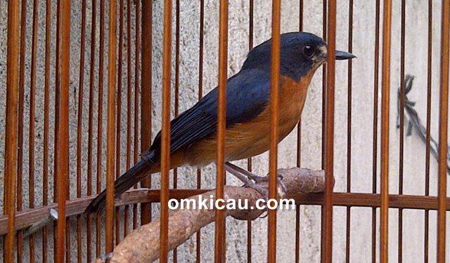 Melatih mental burung tledekan bakalan untuk menjadikannya lebih rajin bunyi