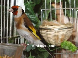 Burung goldfinch