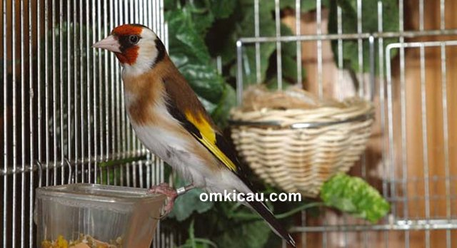 ternak burung goldfinch