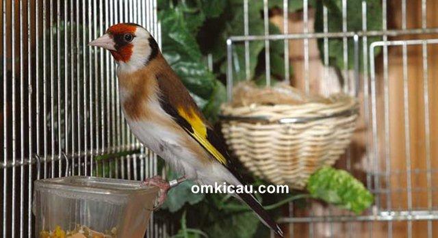 ternak burung goldfinch