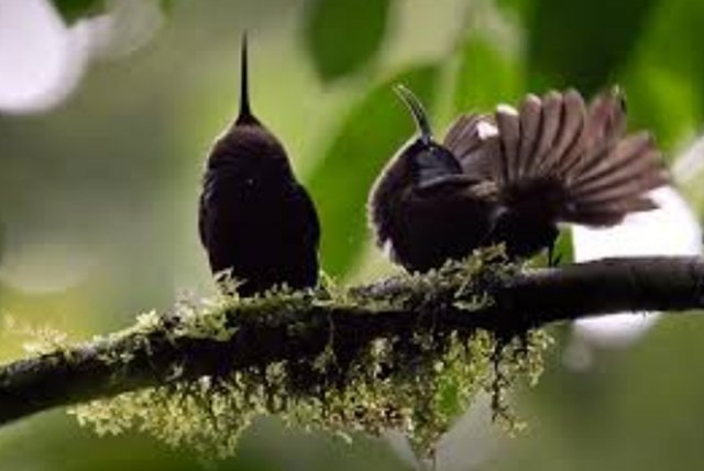 Sepasang giant sunbird yang sedang melakukan tarian kawin