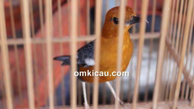 suara terapi dan pancingan untuk burung anis merah