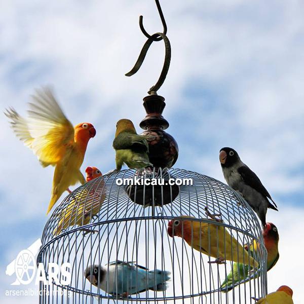 Arsenal Bird Farm Bandung: Konsisten Beternak Merpati Dan