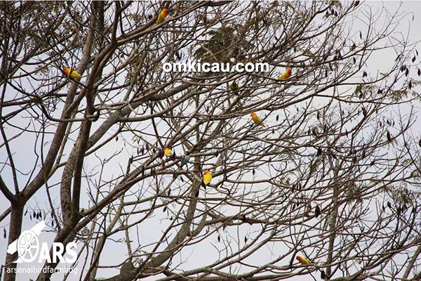 ternak lovebird sistem bebas