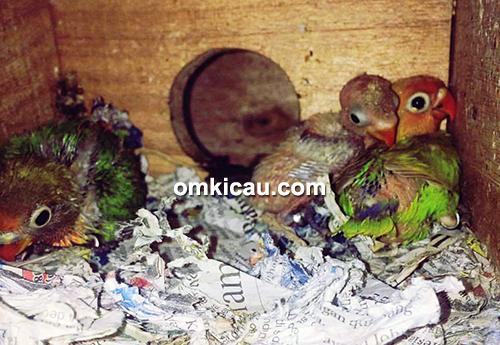 penangkaran burung lovebird