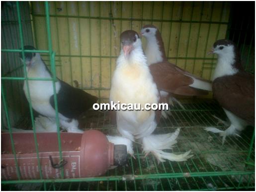 ternak burung puter