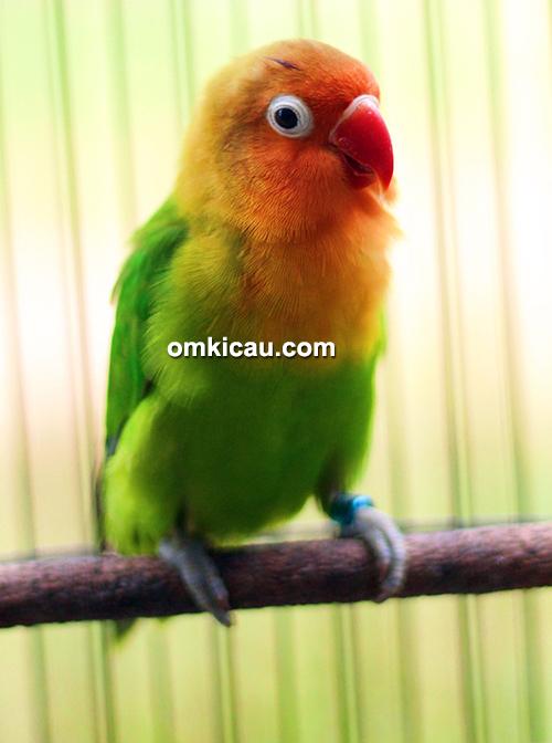 Lovebird Bagas