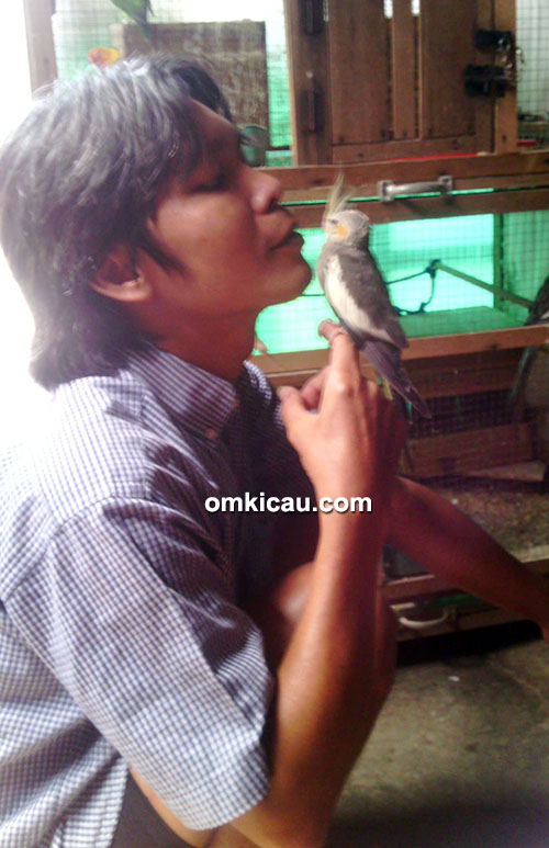 beternak burung cockatiel