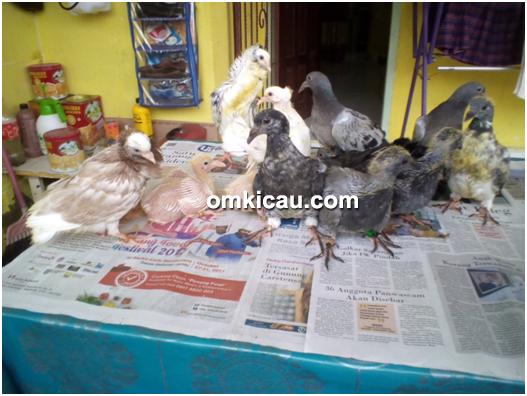 Penangkaran Burung Merpati Hias Ghio Bird Farm Jambi