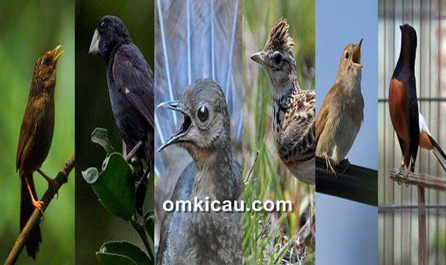 Enam jenis burung kicauan di dunia dengan suara memukau