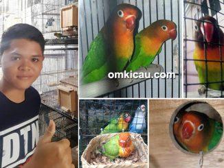 breeding lovebird MRF Bird Fam