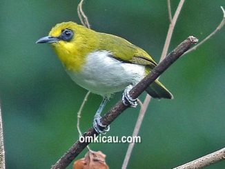 Pleci makassar burung endemik Sulawesi